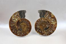 Cleoniceras sp, in 2 halves - 16.5 x 13.3 cm - 867 g (2)