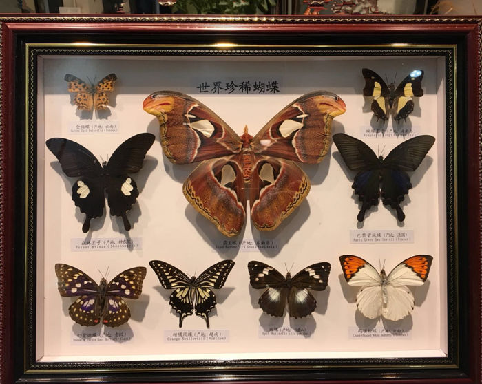 Finely cased Asian Butterflies, with Atlas Moth - various species - 46.5 x 36.5cm