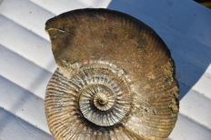 Large ammonite - Hammatoceras bonarelli - 16 cm - 903 g - Prepared on both sides