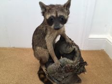 Taxidermy - young Raccoon, full body mount - Procyon lotor - 44 x 34cm - 3700gm