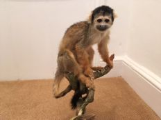 Fine taxidermy - Black-capped Squirrel Monkey - Saimiri boliviensis - 40 x 23cm - 665gm