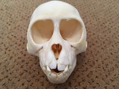Taxidermy - Rhesus Macaque, complete skull - Macaca mulatta - 95 x 65 x 70mm - 60gm