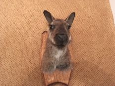 Taxidermy - adult Bennett's Wallaby, mounted head on wall-plaque - Macropus rufogriseus - 20cm - 740gm