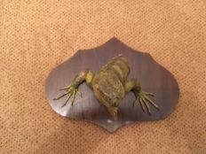 Taxidermy - unusual Common Green Iguana, fore part, on wooden shield - 29 x 23cm - 940gm