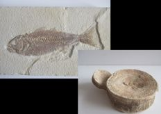 Lot of 2 fossils: Fish of the Dapalus macrurus species (25 cm) and shark spinal discs (9 and 4 cm)