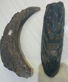 Fossils - Stegodon Tooth and Buffalo horncore - 20cm and 30cm - 2.7kg  (2)