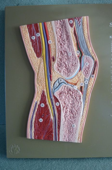 Somso Cross Section Of The Human Knee Joint And An Anatomical Knee
