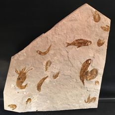 Lighly-restored Libyan Fossil Matrix with fossil Fish and Crustacean remains - Clupeidae,Nautilus,  Acanthochirana, and Carpopeanus -29 x 33cm - 3.7kg