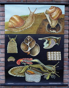 Old Biology school poster by Jung Koch Quentell: The vineyard snail
