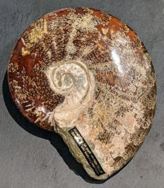 Block of decorative ammonites - Aioloceras sp. - 24 x 20 x 10 cm -  3050 g
