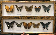 Taxidermy - fine, large Butterfly cases - various species  - 62 x 9cm  (2)