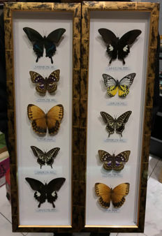 Taxidermy - fine, large Butterfly case - various species  - 62 x 9cm(2)