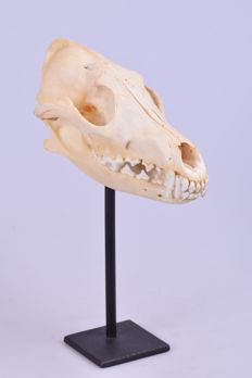 Taxidermy - fine Coyote skull on stand - Canis latrans - 18cm