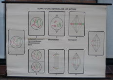 Old Biology school poster with cell division or Mitosis with chromosomes