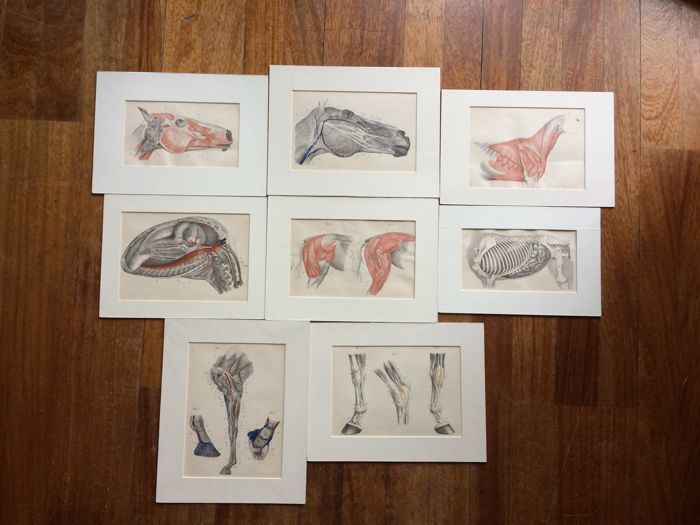 Collection of eight horse prints - Anatomical - by E.A.L. Quadekker, captain-horse doctor (8)