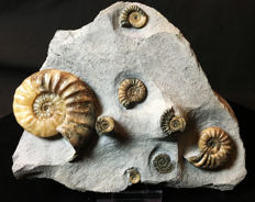 Two Asteroceras sp. ammonites with Promicroceras sp. - 29 x 15.5 cm