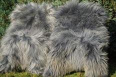 Extra large Long-haired Grey coloured Sheep Skins - Ovis aries - 150 x 85 cm (2)