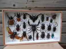 Interesting Display Case of Exotic Insects, including Scorpion and Rhinoceros Beetles - 35 x 20cm