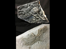 Two Crinoid fossils - Megistocrinus sp. (6.5 cm) and Pentacrinites sp. (22 cm) (2)