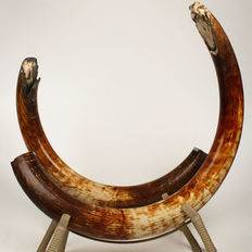 Huge pair of Woolly Mammoth Tusks - Mammuthus primigenius -  174cm and 213cm - total weight 77.90kg  (2)