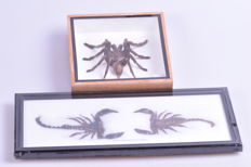 Rainforest Scorpion and Asian Tarantula - Palamnaeus fulipes and Eurypeima spinicrus - 15 x 15cm and 32 x 14cm (2)