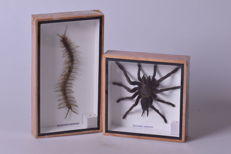 Asian Tarantula and Centipede - Eurypeima spinicrus and Scolopendra morsitans - 15 x 15cm and 22 x 13cm (2)