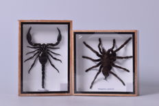 Rainforest Scorpion and Asian Tarantula - Palamnaeus fulipes and Eurypeima spinicrus - 15 x 15cm and 17.5 x 12.5cm (2)