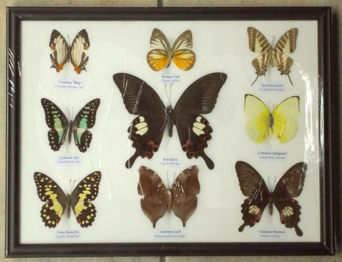 Set of colourful Asian Butterflies in display case - 32 x 25cm