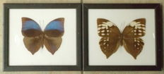 Great Saturn Butterfly pair – 20 x 17,5cm  (2)