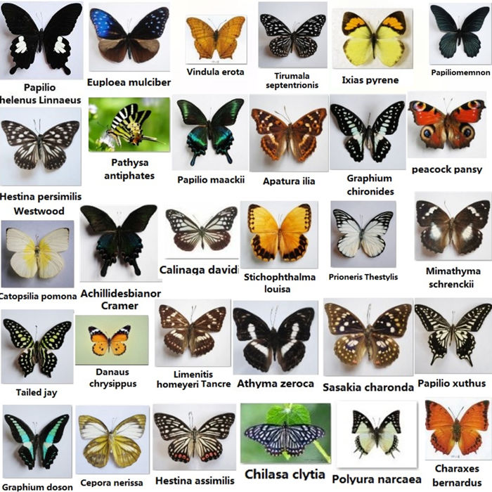 Collection of individually packed Exotic Butterflies, dry-preserved - various species - 5.5 to 10.5cm  (30)