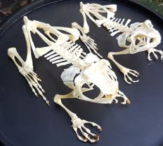 Asian Common Toad and Javan Giant Frog skeletons, complete - Duttaphrynus melanostictus and Limnonectes macrodon - 10 and 13 cm  (2)