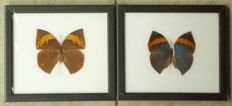 Pair of fine Orange Oak Leaf Butterfly cases - 20 x 17,5cm  (2)