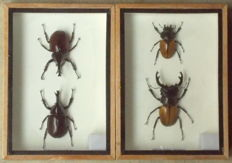 Brown Rhinoceros Beetles, male and female, with Stag Beetle species, male and female - 17,5 x 12,5cm  (2)
