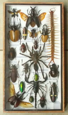 """Entomology collector's box with 21 different species, including a """"Poison Set"""", 35 x 20cm"""