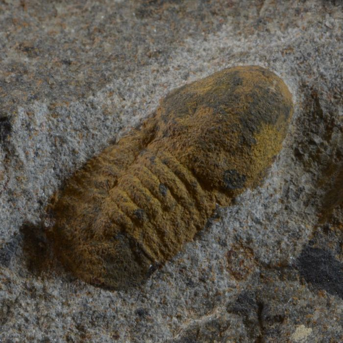 Multiple trilobites Microparia sp. - 120 x 88 x 28 mm matrix