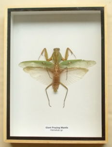 Giant Praying Mantis in a wooden box – 20,5 cm by 15 cm.