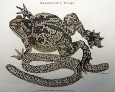 2 x George Shaw (1751-1813) - Alliaceous Toad & Frog - hand colour - 1801