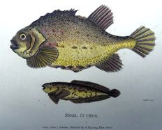 2 x George Shaw (1751-1813) - Lump Suckers - Fish - hand colour - 1803