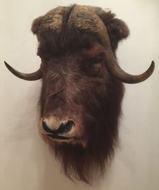 Best quality taxidermy - Musk Ox shoulder-mount - Ovibos moschatus - 100 x 67 cm - 18 kg
