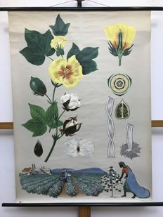 Beautiful old Botanical school poster baumwollstaude cotton shrub