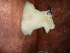 Finest taxidermy - Rocky Mountain Goat shoulder-mount - Oreamnos americanus - 60 x 30 cm