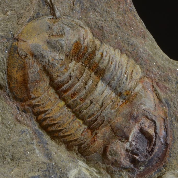 Large trilobite - in matrix Asaphellus sp. - 125 x 90 x 40 mm 425 gm