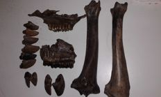 Lot of Bison antiquus bones - 2,400kg  (14)