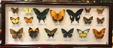 Taxidermy - fine, large Butterfly case - various species - 70 x 30cm