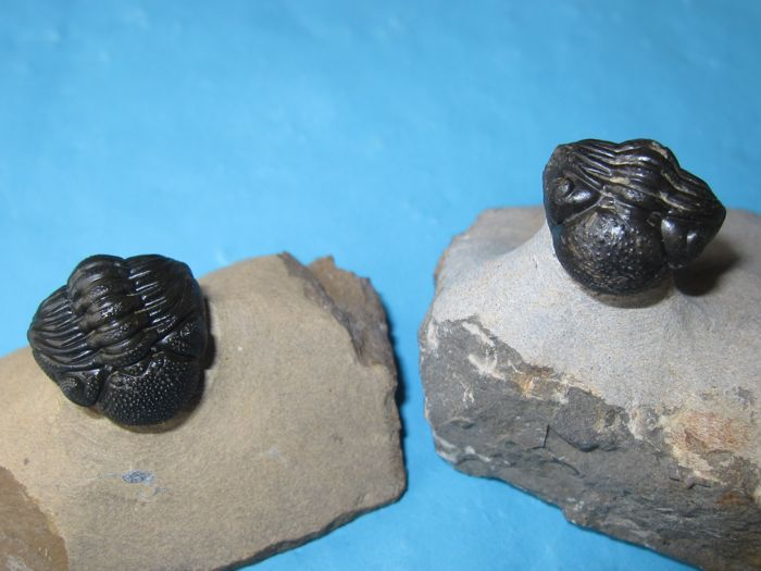2 small Trilobites - Morocops - each 35 mm x 18 mm (2)