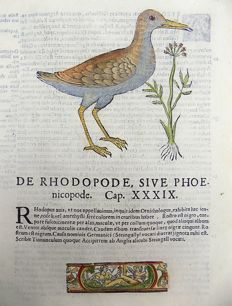 Ornithological print on 1 leaf with a large woodcut - Ulisse Aldrovandi (1522 – 1605) - Birds, Waterbirds, Crake - 1637