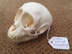 Taxidermy - complete skull of a Golden-bellied Mangabey - Cercocebus chrysogaster. - 93mm - 36gm