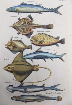 Matthäus Merian ( 1621 –1687) - hand colored copper engraving - Fish: Batfish, Filefish, Stingray, Remora, Hammerhead - 1657