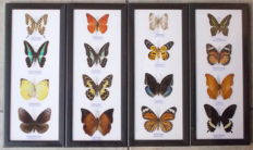 An interesting collection of Asian Butterflies - 32 x 13,5cm  (4)