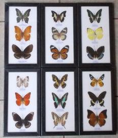 A very colourful collection of exotic Butterflies – 25 x 13,5cm  (6)